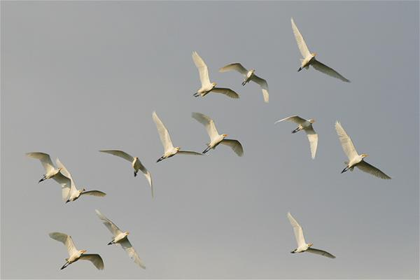 Cattle Egrets In Flight